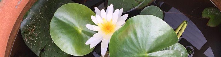 cropped-lotus-flower-1.jpeg